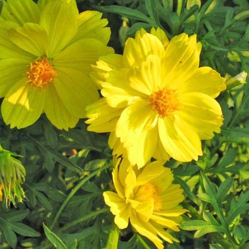 100 Hạt giống cúc sao nháy màu vàng