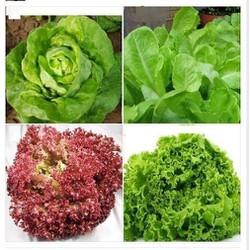 Bộ 4 gói hạt giống rau xà lách_ xoăn tím, xoăn xanh, xà lách đăm, xà lách chịu nhiệt