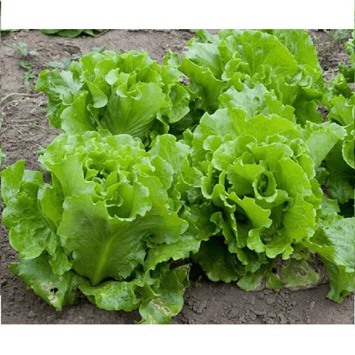 Hạt giống rau xà lách chịu nhiệt - 7669567 , 17429480 , 15_17429480 , 25000 , Hat-giong-rau-xa-lach-chiu-nhiet-15_17429480 , sendo.vn , Hạt giống rau xà lách chịu nhiệt