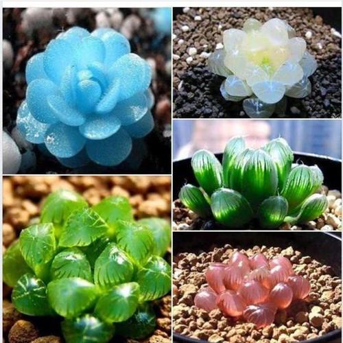 hạt giống sen đá kim cương - 4886635 , 17517518 , 15_17517518 , 20000 , hat-giong-sen-da-kim-cuong-15_17517518 , sendo.vn , hạt giống sen đá kim cương