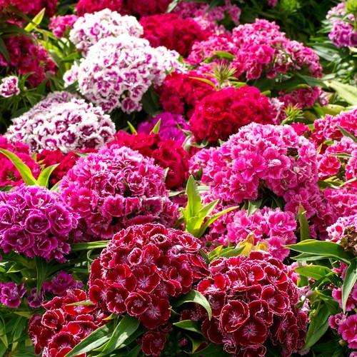 Hạt giống hoa Cẩm chướng chùm mix nhiều màu 1 gói - 7569355 , 17516614 , 15_17516614 , 35000 , Hat-giong-hoa-Cam-chuong-chum-mix-nhieu-mau-1-goi-15_17516614 , sendo.vn , Hạt giống hoa Cẩm chướng chùm mix nhiều màu 1 gói