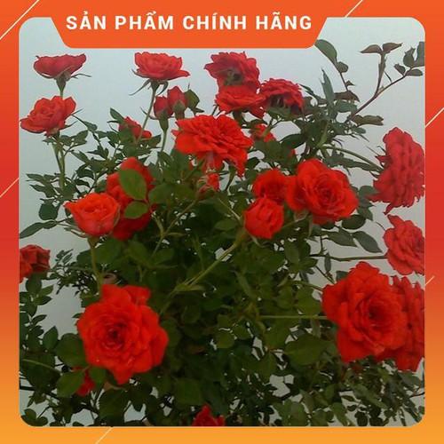 KHUYẾN MÃI Cây Hoa Hồng Tỉ Muội Đỏ HOA ĐẸP CÂY KHỎE GIÁ RẺ