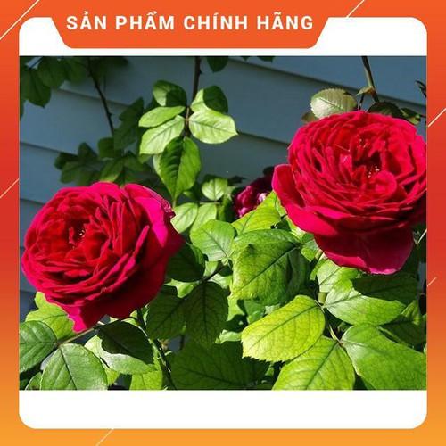 [ KHUYẾN MÃI] [Tặng Phân Bón+Kích Mầm] COMBO 3 Cây Hoa Hồng Ngoại Red Piano HOA ĐẸP , CÂY KHỎE, GIÁ RẺ ,CHẤT LƯỢNG TỐT