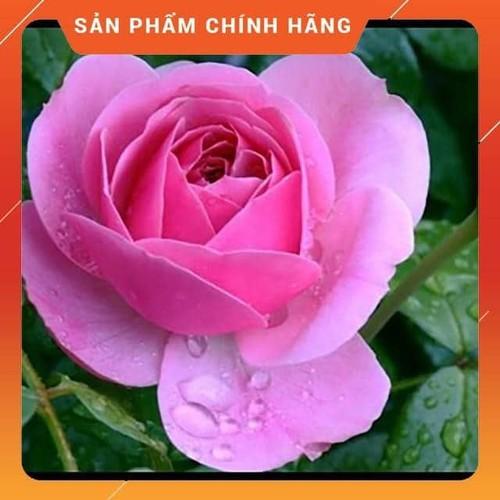 [ KHUYẾN MÃI] [Tặng Phân Bón+Kích Mầm] COMBO 3 Cây Hoa Hồng Cổ Son Môi HOA ĐẸP CÂY KHỎE GIÁ RẺ CH - 7357652 , 17137930 , 15_17137930 , 233000 , -KHUYEN-MAI-Tang-Phan-BonKich-Mam-COMBO-3-Cay-Hoa-Hong-Co-Son-Moi-HOA-DEP-CAY-KHOE-GIA-RE-CH-15_17137930 , sendo.vn , [ KHUYẾN MÃI] [Tặng Phân Bón+Kích Mầm] COMBO 3 Cây Hoa Hồng Cổ Son Môi HOA ĐẸP CÂY