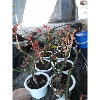 COMBO 3 Cây Hoa Hồng cổ - 111 thumbnail