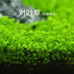 Hạt Giống Trân Châu Lá Nhỏ Cho Hồ Cá Thủy Sinh