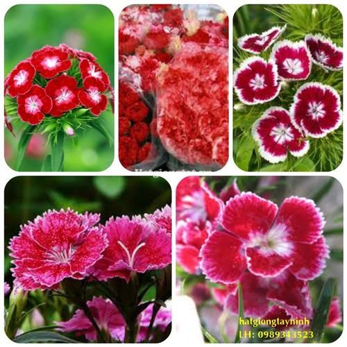 Hạt giống hoa cẩm chướng đơn mix