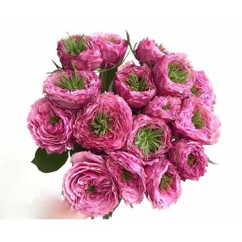 chậu hồng Forbidden Parfum