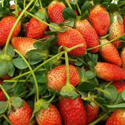 Bộ 4 gói hạt giống dâu tây chịu nhiệt Nhật bản - 7584035 , 17607099 , 15_17607099 , 85000 , Bo-4-goi-hat-giong-dau-tay-chiu-nhiet-Nhat-ban-15_17607099 , sendo.vn , Bộ 4 gói hạt giống dâu tây chịu nhiệt Nhật bản