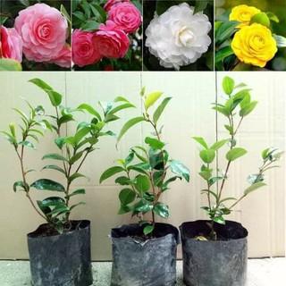 Cây Hoa Trà My nhiều màu nguyên bầu đất - TM2 thumbnail