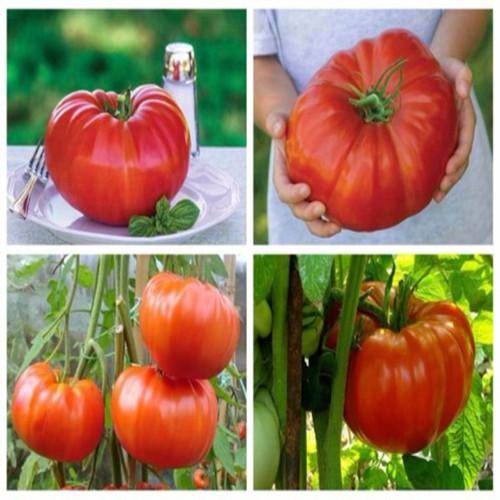 gói 500 hạt giống cà chua khổng lồ