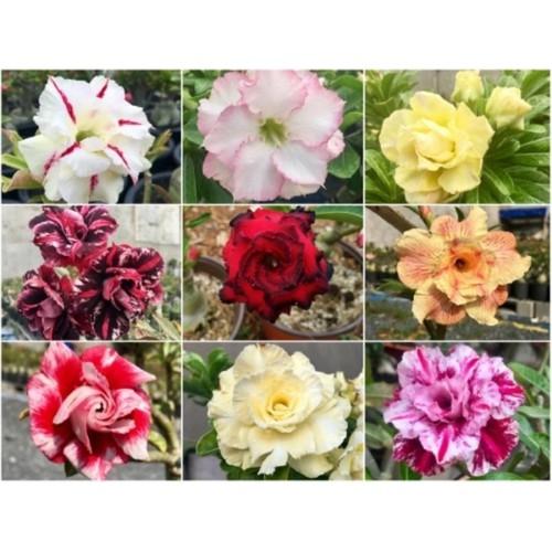 G33- 10 hạt giống hoa sứ thái kép 10 màu khác nhau - 7990109 , 17664644 , 15_17664644 , 79000 , G33-10-hat-giong-hoa-su-thai-kep-10-mau-khac-nhau-15_17664644 , sendo.vn , G33- 10 hạt giống hoa sứ thái kép 10 màu khác nhau