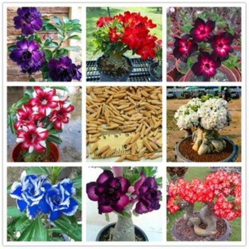 G32- 8 hạt giống hoa sứ thái cánh kép 8 màu khác nhau - 7989931 , 17664444 , 15_17664444 , 64000 , G32-8-hat-giong-hoa-su-thai-canh-kep-8-mau-khac-nhau-15_17664444 , sendo.vn , G32- 8 hạt giống hoa sứ thái cánh kép 8 màu khác nhau
