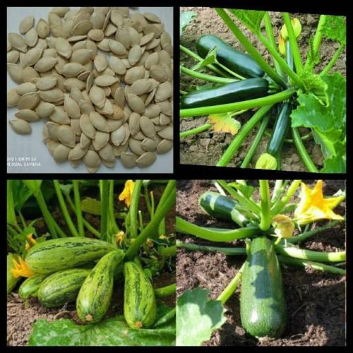 15 hạt giống bí ngòi xanh - 7689446 , 17665265 , 15_17665265 , 13000 , 15-hat-giong-bi-ngoi-xanh-15_17665265 , sendo.vn , 15 hạt giống bí ngòi xanh