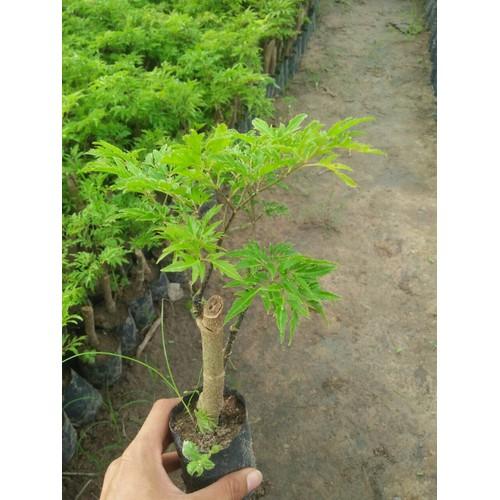 10 cây giống đinh lăng Lá nếp - 8006780 , 17687883 , 15_17687883 , 189000 , 10-cay-giong-dinh-lang-La-nep-15_17687883 , sendo.vn , 10 cây giống đinh lăng Lá nếp