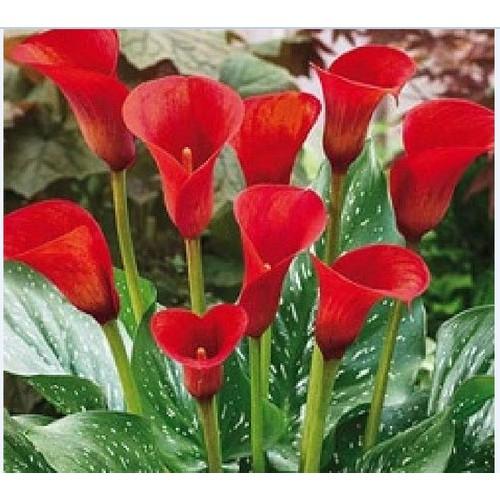 Củ giống hoa rùm màu đỏ_ 1 củ vad 1 viên nén ươm củ