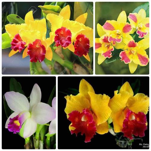 Bộ 3 cây Catlaya giống nhiều màu - 7998969 , 17677844 , 15_17677844 , 120000 , Bo-3-cay-Catlaya-giong-nhieu-mau-15_17677844 , sendo.vn , Bộ 3 cây Catlaya giống nhiều màu