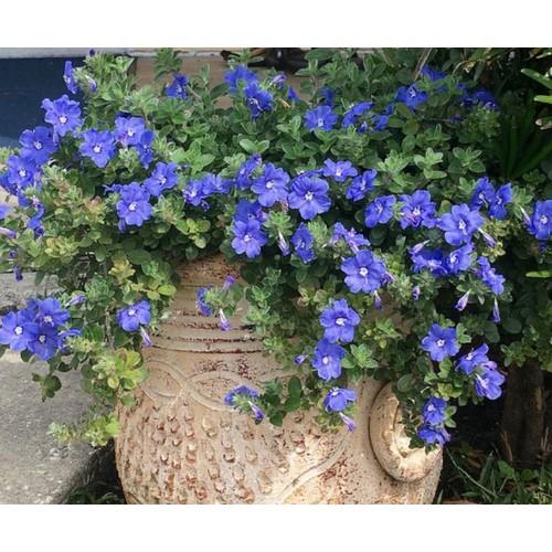 Chậu cây giống hoa thanh tú - 8106756 , 17739133 , 15_17739133 , 40000 , Chau-cay-giong-hoa-thanh-tu-15_17739133 , sendo.vn , Chậu cây giống hoa thanh tú