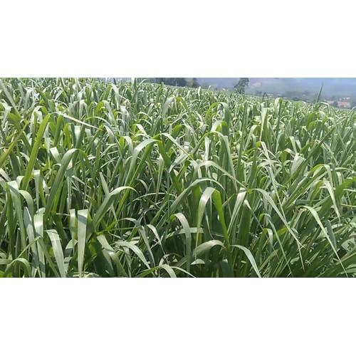Hạt giống cỏ sả lá lớn | cỏ mombasa ghinê gói 100gr
