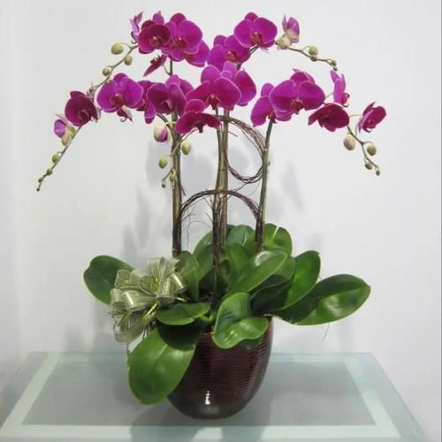 cây giống lan hồ điệp tím cấy mô - 8120373 , 17743594 , 15_17743594 , 60000 , cay-giong-lan-ho-diep-tim-cay-mo-15_17743594 , sendo.vn , cây giống lan hồ điệp tím cấy mô
