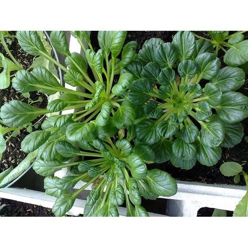 COMBO 5 gói hạt giống cải bẹ hoa hồng TẶNG 1 phân bón