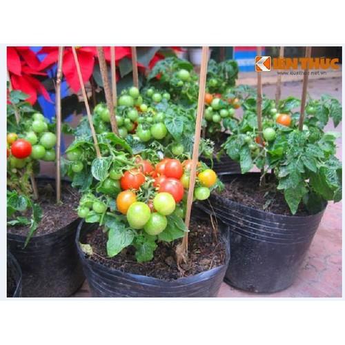 Hạt giống cà chua bi lùn đỏ_ tặng kèm 3 viên nén ươm hạt