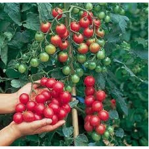 Hạt giống cà chua bi chùm_ tặng kèm 3 viên nén kích thích ươm hạt