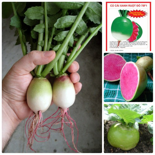 COMBO 5 gói hạt giống củ cải xanh ruột đỏ F1 TẶNG 1 phân bón - 4818568 , 17186898 , 15_17186898 , 89000 , COMBO-5-goi-hat-giong-cu-cai-xanh-ruot-do-F1-TANG-1-phan-bon-15_17186898 , sendo.vn , COMBO 5 gói hạt giống củ cải xanh ruột đỏ F1 TẶNG 1 phân bón