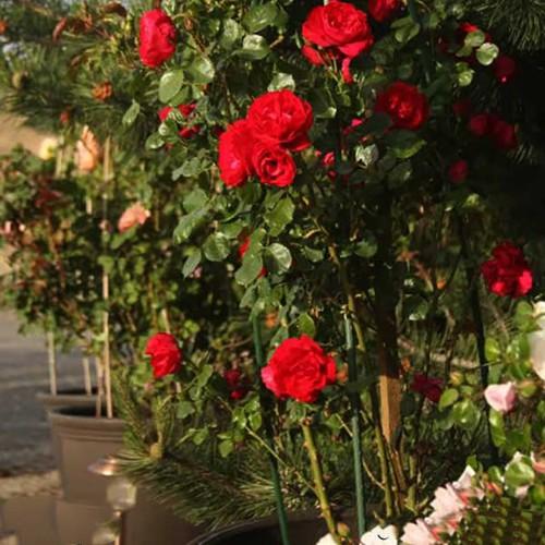 [KHUYẾN MÃI] COMBO 3 Cây Hoa Hồng Monalisa Rose _Tặng Phân Bón+Kích Mầm