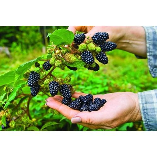 Hạt giống cây ăn trái mâm xôi đen_ tặng kèm 3 viên nén kích thích ươm hạt - 7649850 , 17237421 , 15_17237421 , 35000 , Hat-giong-cay-an-trai-mam-xoi-den_-tang-kem-3-vien-nen-kich-thich-uom-hat-15_17237421 , sendo.vn , Hạt giống cây ăn trái mâm xôi đen_ tặng kèm 3 viên nén kích thích ươm hạt