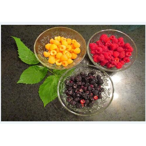 Combo 3 gói hạt giống cây ăn trái mâm xôi_ đỏ vàng đen+ tặng kèm 1 gói kích thích hạt nảy mầm - 7508794 , 17237688 , 15_17237688 , 75000 , Combo-3-goi-hat-giong-cay-an-trai-mam-xoi_-do-vang-den-tang-kem-1-goi-kich-thich-hat-nay-mam-15_17237688 , sendo.vn , Combo 3 gói hạt giống cây ăn trái mâm xôi_ đỏ vàng đen+ tặng kèm 1 gói kích thích hạt nảy