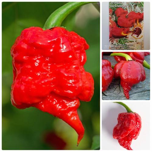 COMBO 5 gói hạt giống ớt chuông siêu cay Russia TẶNG 1 phân bón - 7652309 , 17261277 , 15_17261277 , 115000 , COMBO-5-goi-hat-giong-ot-chuong-sieu-cay-Russia-TANG-1-phan-bon-15_17261277 , sendo.vn , COMBO 5 gói hạt giống ớt chuông siêu cay Russia TẶNG 1 phân bón