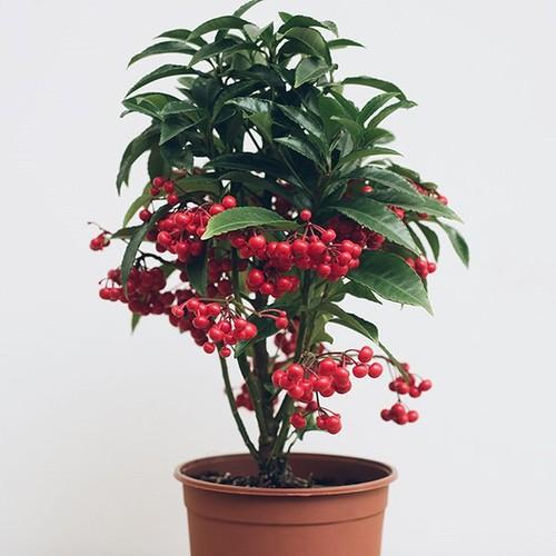 Bán hạt giống cây kim ngân lượng - Tài liệu HD cách gieo trồng - 7708381 , 17809885 , 15_17809885 , 25000 , Ban-hat-giong-cay-kim-ngan-luong-Tai-lieu-HD-cach-gieo-trong-15_17809885 , sendo.vn , Bán hạt giống cây kim ngân lượng - Tài liệu HD cách gieo trồng