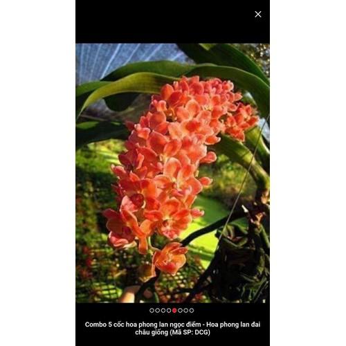 hoa phong lan - ngọc điểm đai châu hoa tết