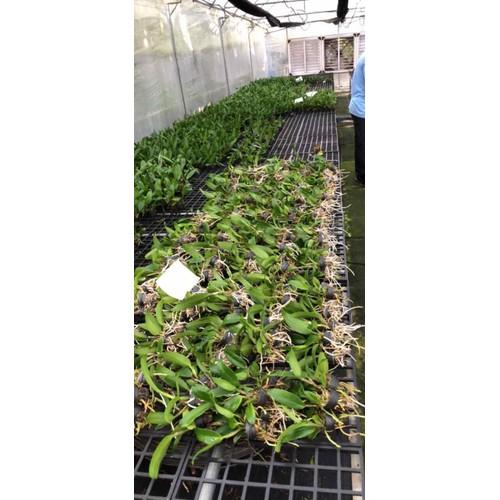 Lan catleaya cây giống hàng tem - 8877150 , 18038630 , 15_18038630 , 60000 , Lan-catleaya-cay-giong-hang-tem-15_18038630 , sendo.vn , Lan catleaya cây giống hàng tem