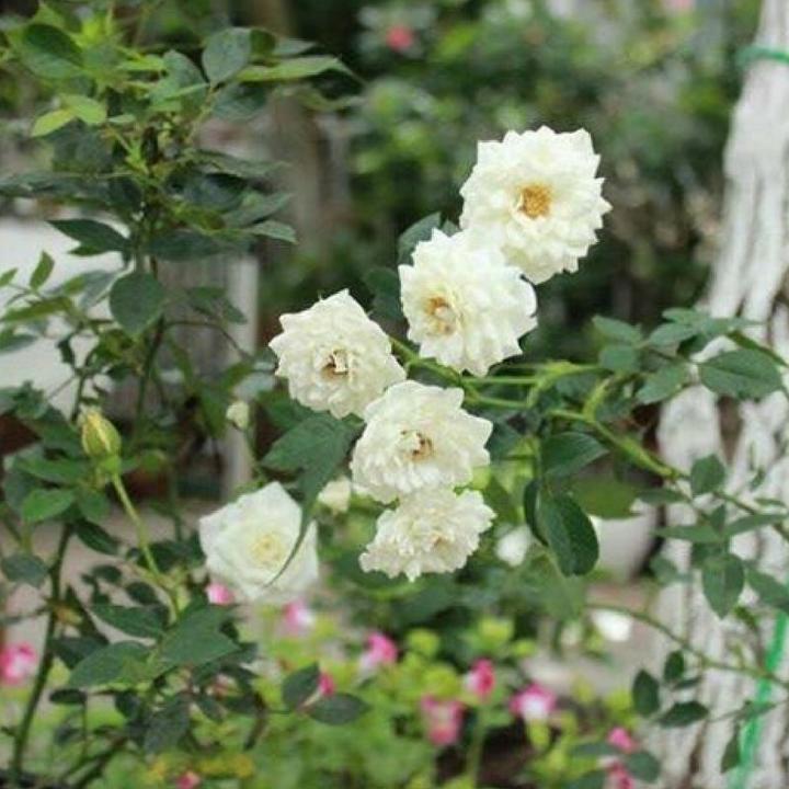hoa hồng bạch trà thân gỗ lùn