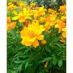 G107-Hạt giống cúc sao nháy màu vàng kép