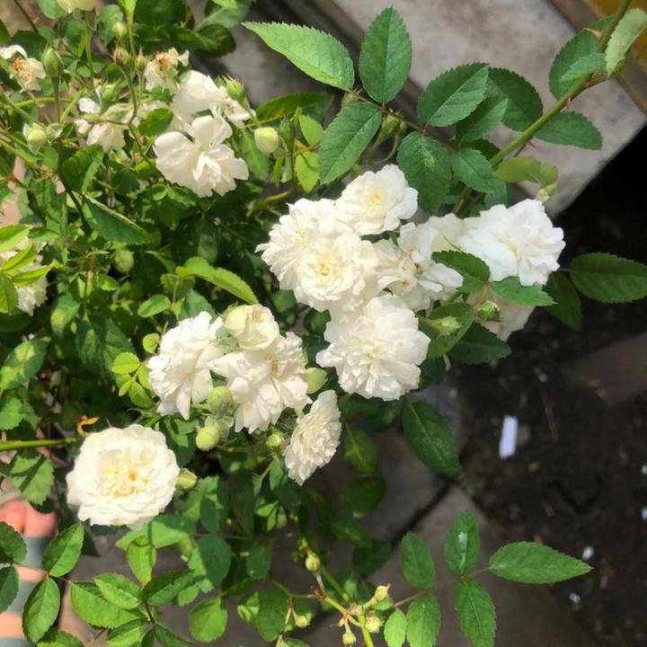 hoa hồng bạch trà hương dịu nhẹ