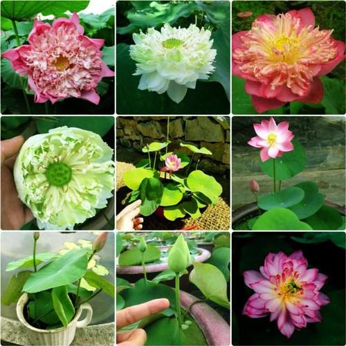 10 hạt giống hoa sen mini