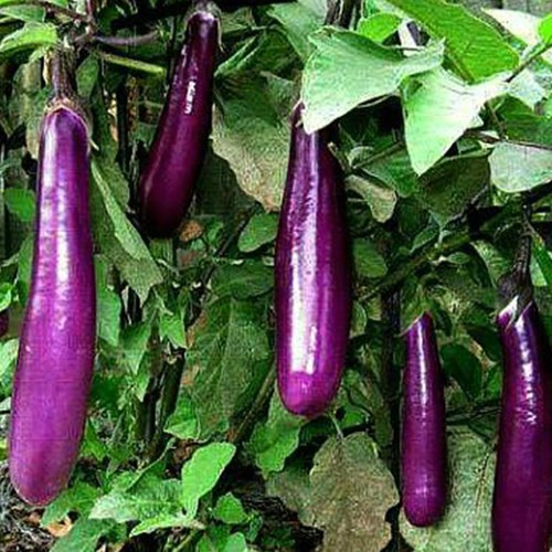 Bộ 4 gói Hạt giống cà tím dài - siêu dễ trồng - 8911187 , 18518853 , 15_18518853 , 80000 , Bo-4-goi-Hat-giong-ca-tim-dai-sieu-de-trong-15_18518853 , sendo.vn , Bộ 4 gói Hạt giống cà tím dài - siêu dễ trồng