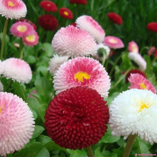 Hạt giống hoa cúc anh mix I Cúc Bellis - 7633640 , 18533400 , 15_18533400 , 25000 , Hat-giong-hoa-cuc-anh-mix-I-Cuc-Bellis-15_18533400 , sendo.vn , Hạt giống hoa cúc anh mix I Cúc Bellis