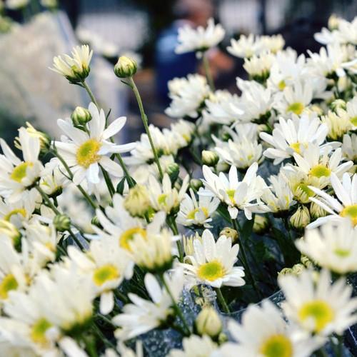 Bộ 10 gói hạt giống hoa cúc họa mi - 8925490 , 18539425 , 15_18539425 , 190000 , Bo-10-goi-hat-giong-hoa-cuc-hoa-mi-15_18539425 , sendo.vn , Bộ 10 gói hạt giống hoa cúc họa mi