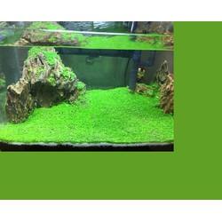 Hạt Giống Thủy Sinh - Cây Trân Châu Lá Nhỏ