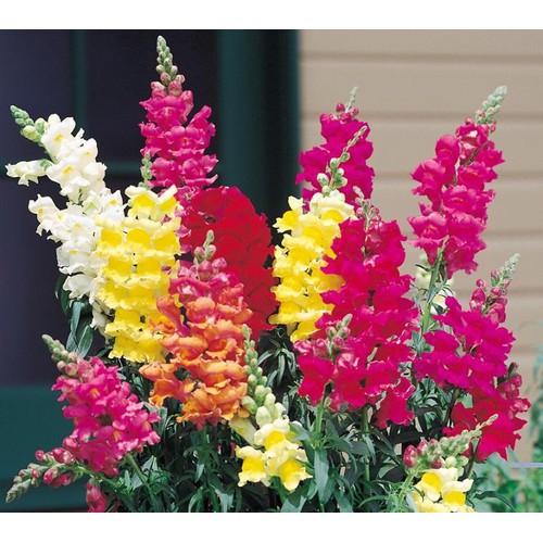 Gói 100 hạt giống hoa mõm sói nhiều màu - 8925072 , 18538949 , 15_18538949 , 20000 , Goi-100-hat-giong-hoa-mom-soi-nhieu-mau-15_18538949 , sendo.vn , Gói 100 hạt giống hoa mõm sói nhiều màu