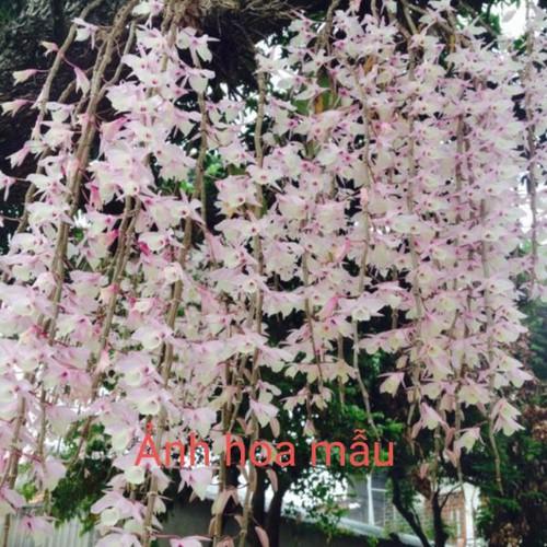 Phong lan Hạc vỹ - 8925189 , 18539082 , 15_18539082 , 180000 , Phong-lan-Hac-vy-15_18539082 , sendo.vn , Phong lan Hạc vỹ