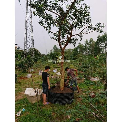 Tấm cót nhựa PVC làm bầu trồng cây - Cao 0,5 mét x dài 50m- Tấm nhựa PVC quấn bầu dưỡng cây - 8964721 , 18595477 , 15_18595477 , 1100000 , Tam-cot-nhua-PVC-lam-bau-trong-cay-Cao-05-met-x-dai-50m-Tam-nhua-PVC-quan-bau-duong-cay-15_18595477 , sendo.vn , Tấm cót nhựa PVC làm bầu trồng cây - Cao 0,5 mét x dài 50m- Tấm nhựa PVC quấn bầu dưỡng cây