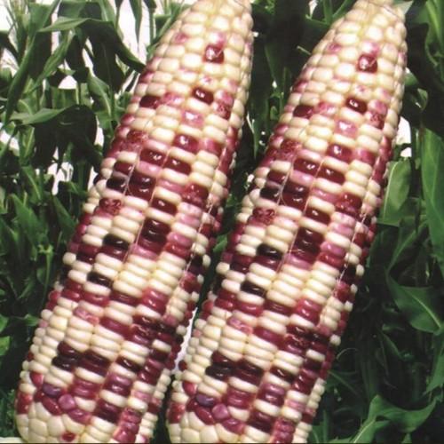 Gói 20g hạt giống bắp nếp F1 trắng tím