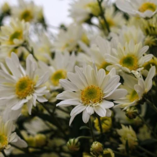 Hạt giống hoa cúc họa mi - 8968973 , 18602914 , 15_18602914 , 22000 , Hat-giong-hoa-cuc-hoa-mi-15_18602914 , sendo.vn , Hạt giống hoa cúc họa mi