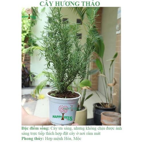 Cây Hương Thảo Rosemary Đà Lạt-chưa gồm chậu