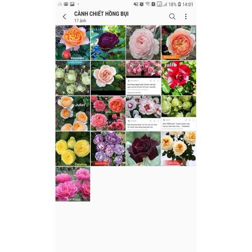 5 cành chiết hoa hồng ngoại dạng bụi mặt hoa inbox shop - 8992108 , 18640248 , 15_18640248 , 190000 , 5-canh-chiet-hoa-hong-ngoai-dang-bui-mat-hoa-inbox-shop-15_18640248 , sendo.vn , 5 cành chiết hoa hồng ngoại dạng bụi mặt hoa inbox shop
